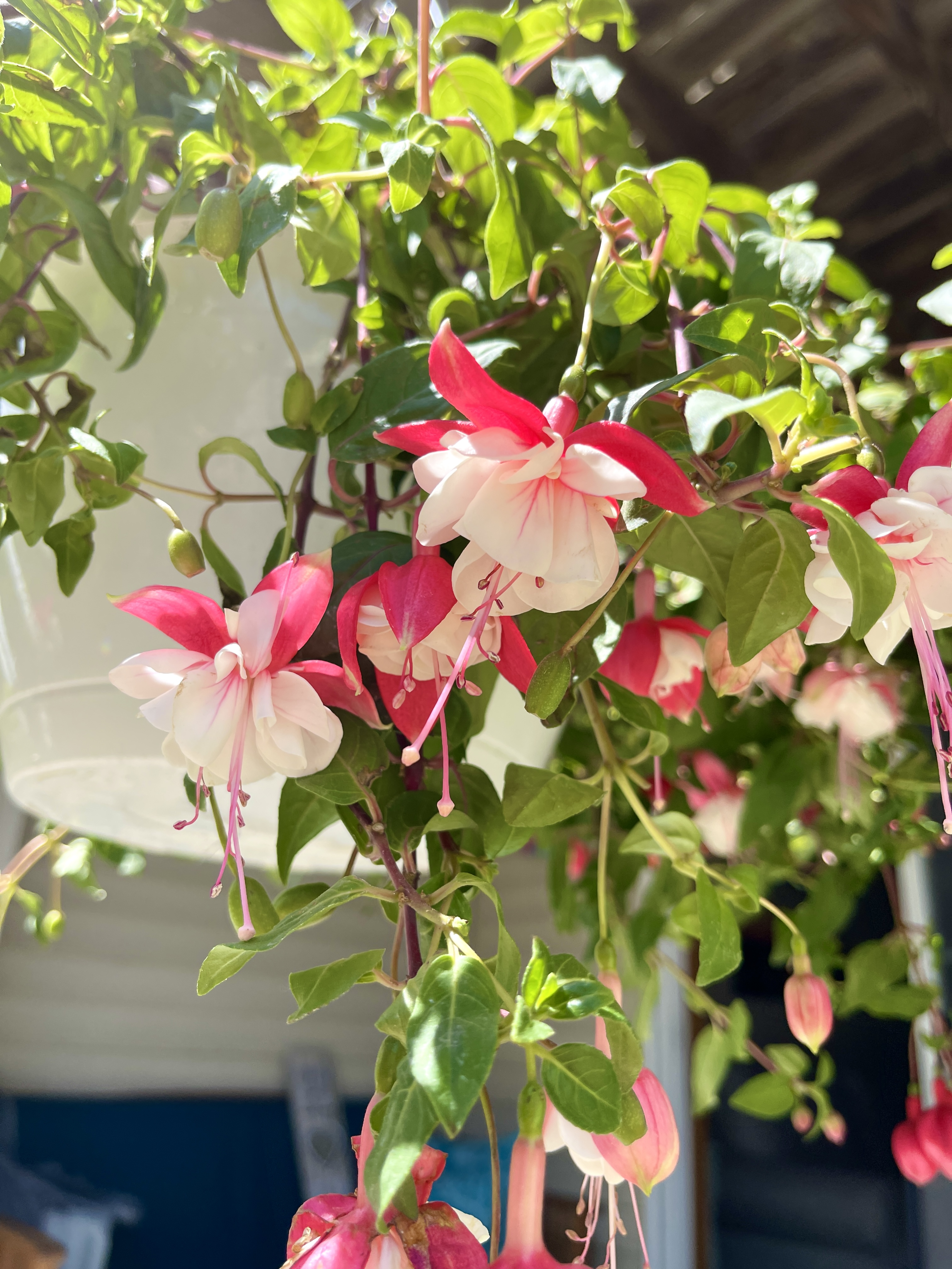 Fuchsia, a pink and white bloom, in a hanging baskets