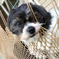 Small black and white dog sitting in a lap in a hammock chair looking at the camers